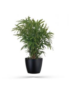 lady-palm