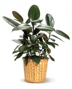 rubberplant-op-kantoor
